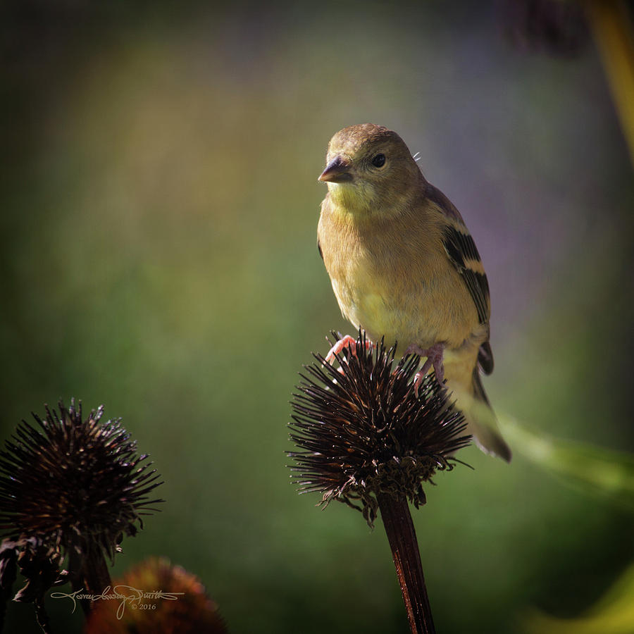Goldfinch Photograph - Early Morning by Karen Casey-Smith