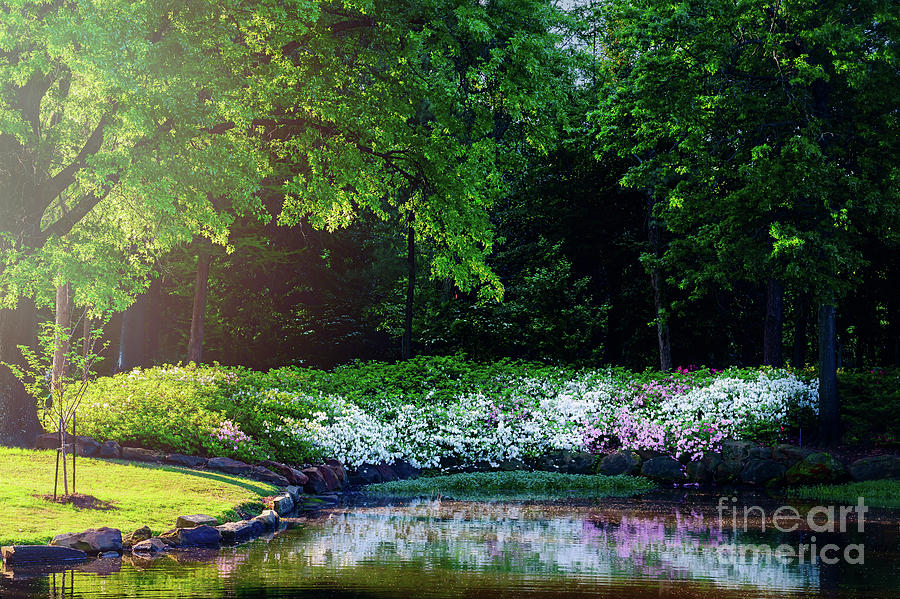 Tamyra Photograph - Early Morning Light At The Azalea Pond by Tamyra Ayles