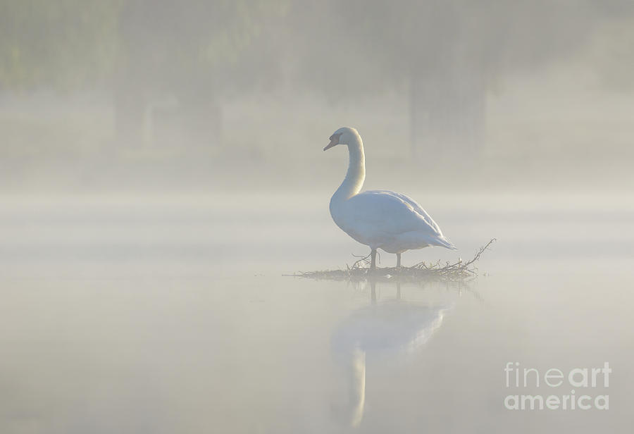Anatidae Photograph - Early morning Mute Swan - Cygnus olor - on serene, misty pond by Paul Farnfield