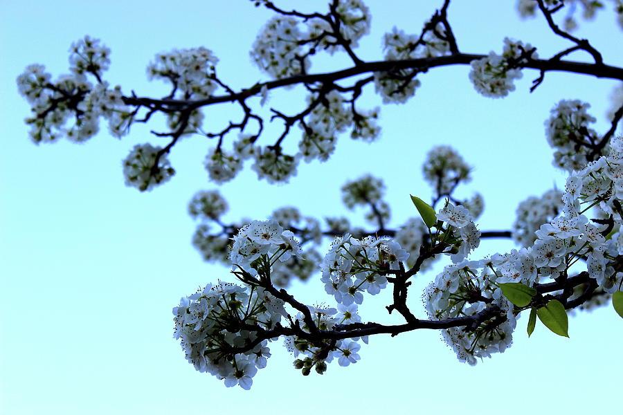 Early Morning Pear Blossom by Elizabeth Anne