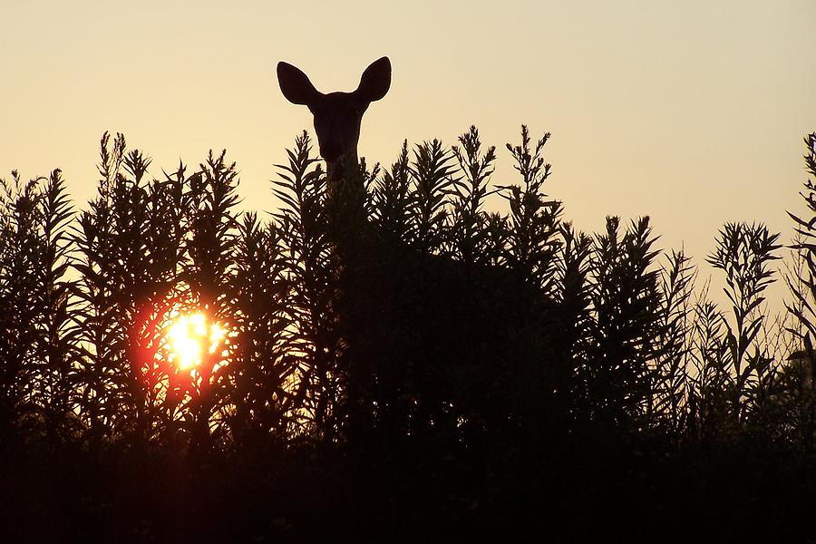 Deer Photograph - Early Morning Visitor by Laurie Prentice