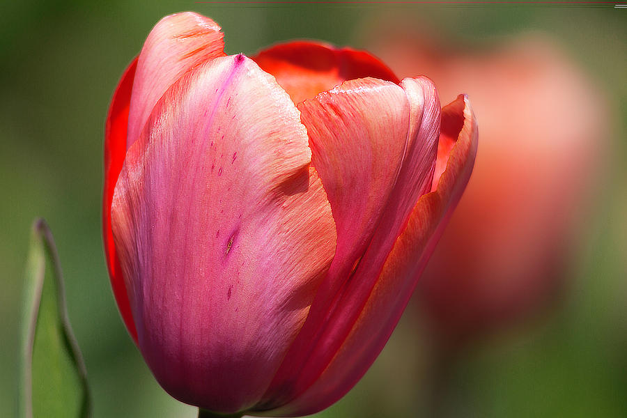 Tulip Photograph - Early Riser  by Edward Kreis