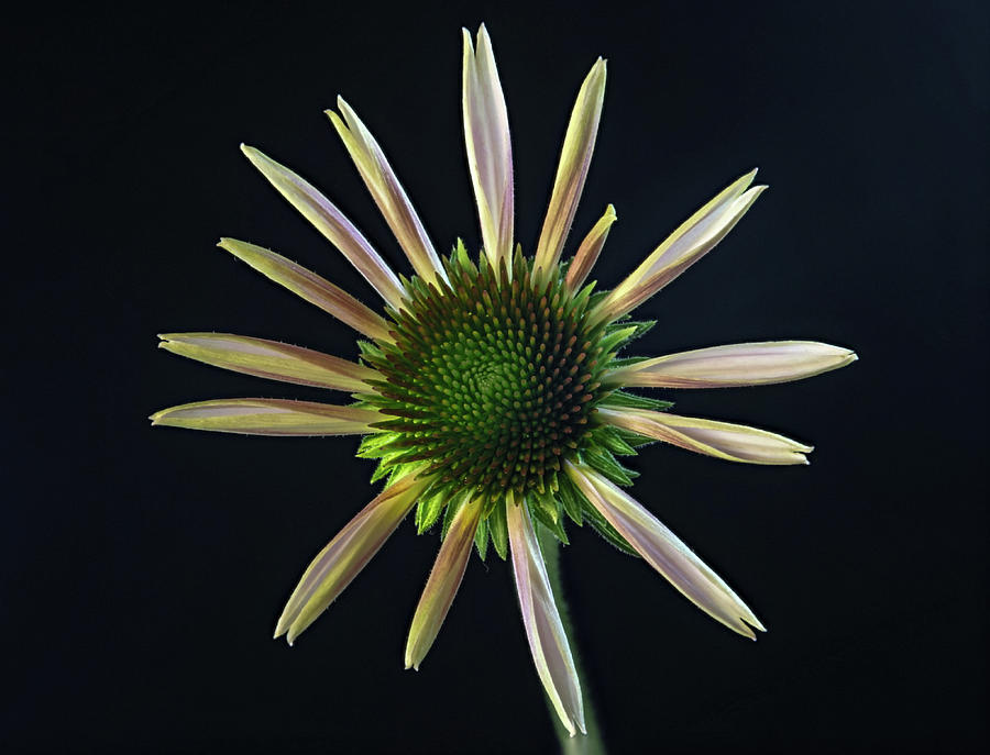 Cone Photograph - Early Stage Of Cone Flower Bloom by Douglas Barnett