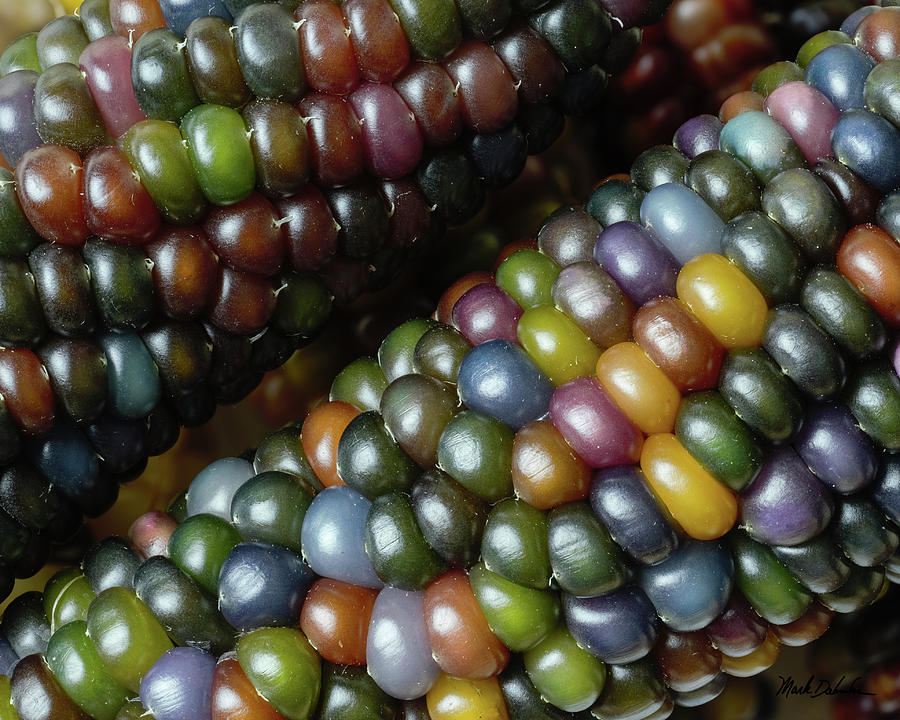 Ears Of Glass Gem Corn Photograph By Mark Dahmke