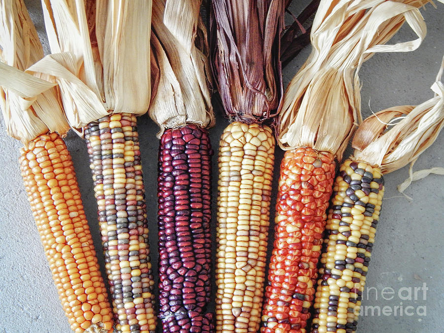 Corn Photograph - Ears Of Indian Corn by Phil Perkins
