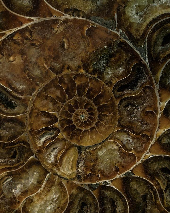 Ammonite Photograph - Earth Treasures - Brown Amonite by Jaroslaw Blaminsky