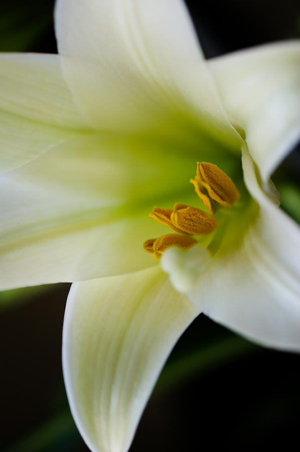 Easter Lily Photograph - Easter Lily Color by Edward Myers