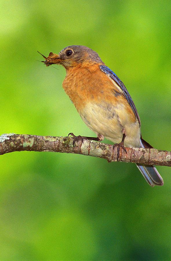 Songbirds Photograph - Easterm Bluebird With Skipper Butterfly In Beak by Alan Lenk