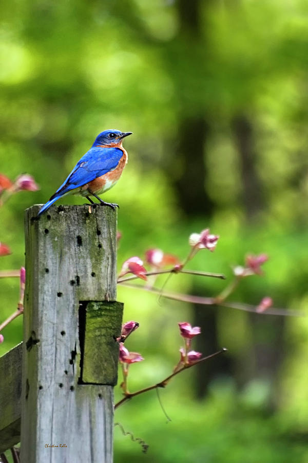 Eastern Bluebird Prints for Sale