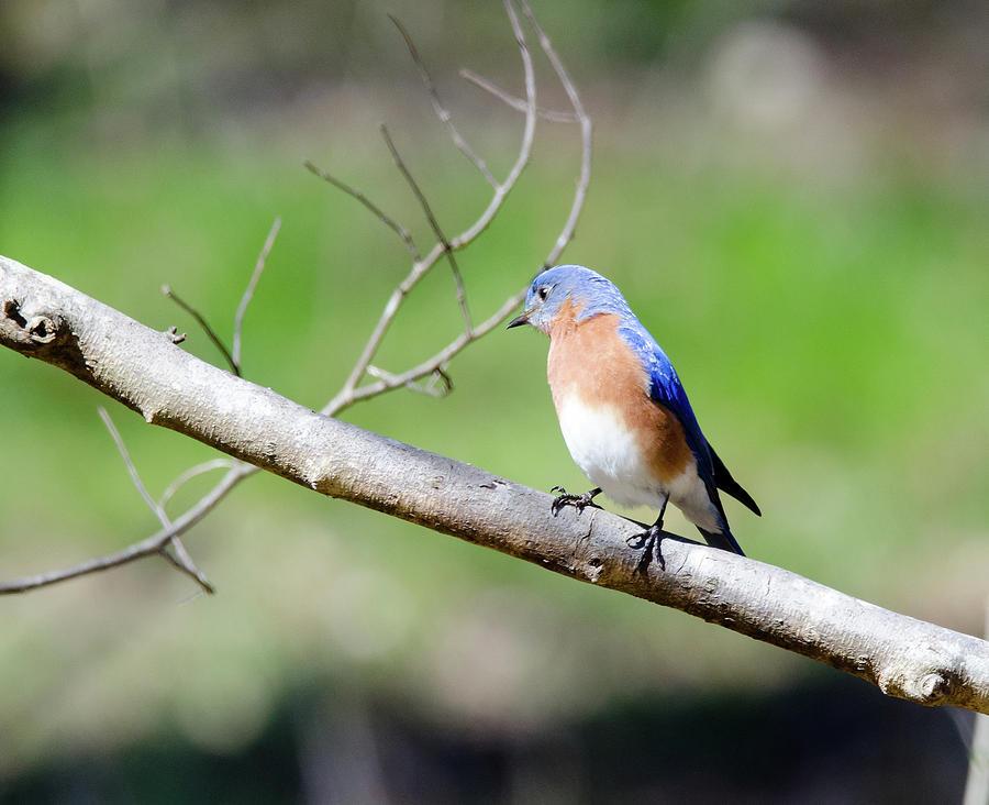 Bird Photograph - Eastern Bluebird by George Randy Bass