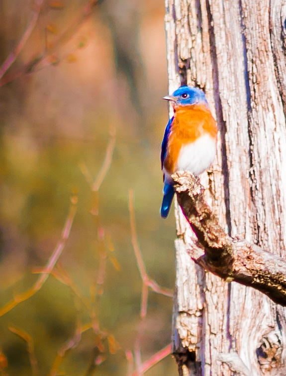 Eastern Bluebird Photograph by Heather Hubbard