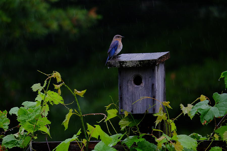 Eastern Bluebird in the rain by Peggy McDonald