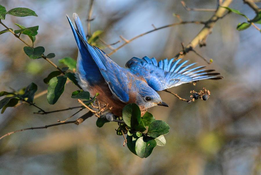 Backyard Birds Photograph - Eastern Bluebird Loosing Balance 122520150930 by WildBird Photographs
