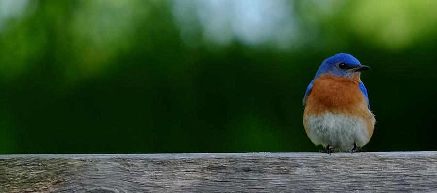 Eastern Bluebird - male by Peggy McDonald