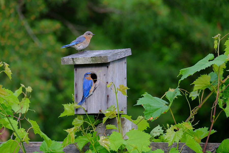 Eastern Bluebird Pair by Peggy McDonald