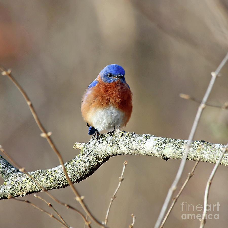 Bluebird Photograph - Eastern Bluebird by Steve Gass