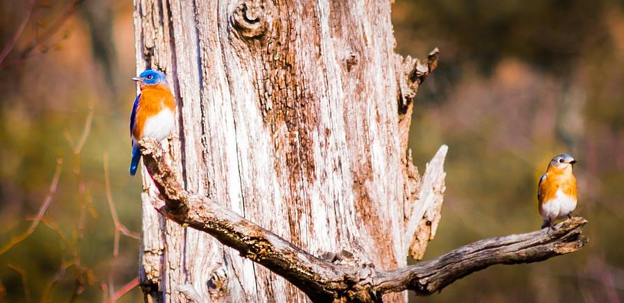 Eastern Bluebirds Photograph by Heather Hubbard