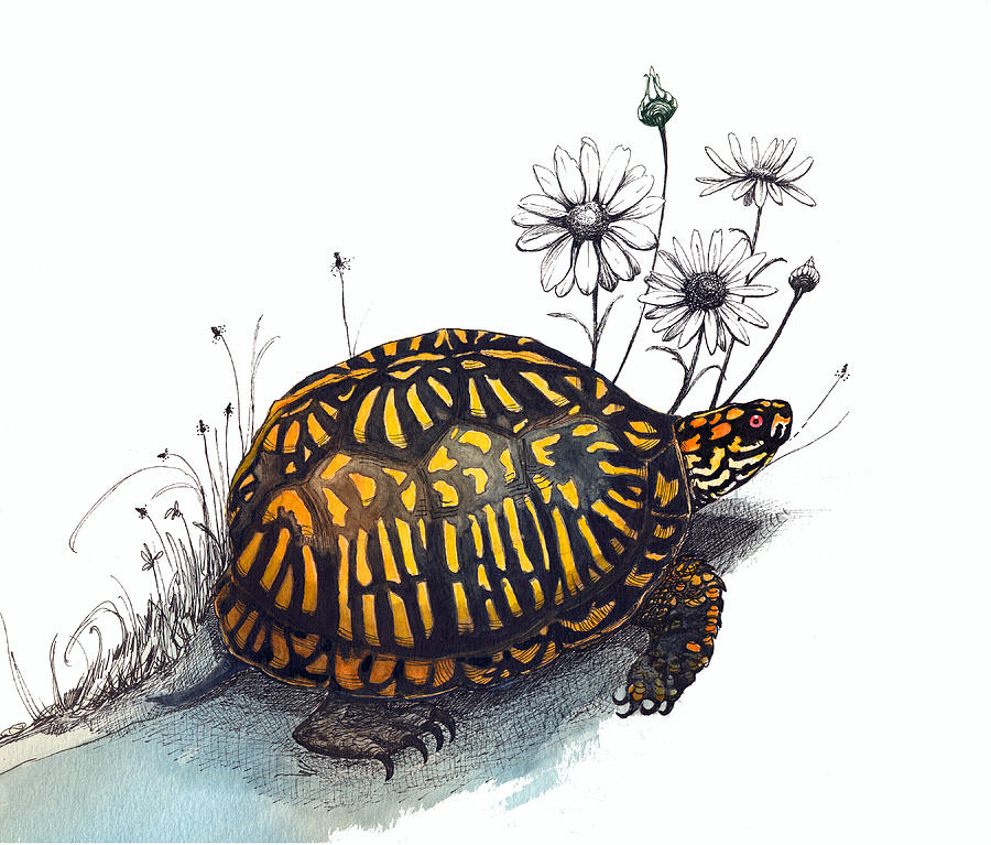 Eastern Box Turtle by Katherine Miller