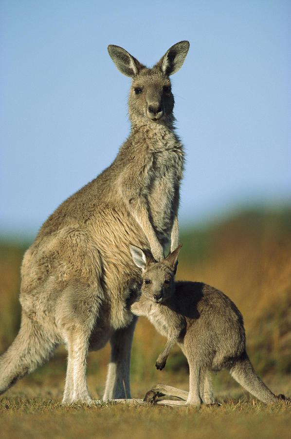 Mp Photograph - Eastern Grey Kangaroo And Her Joey by Ingo Arndt