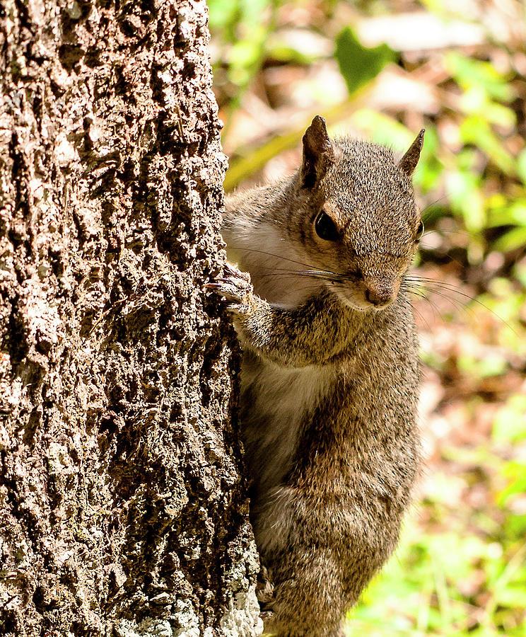 Eastern Grey Squirrel Photograph - Eastern Grey Squirrel by Norman Johnson