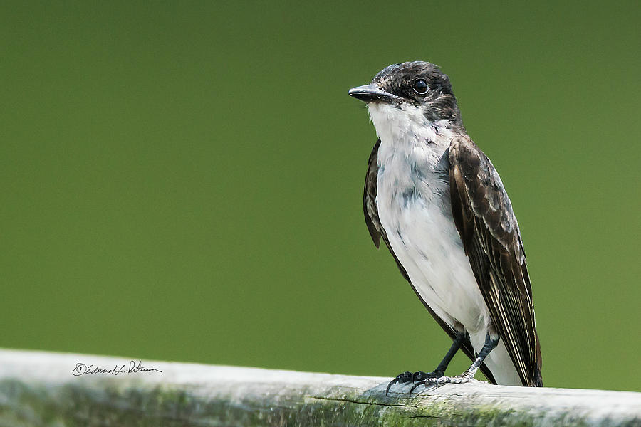 Heron Haven Photograph - Eastern Kingbird On A Railing by Edward Peterson
