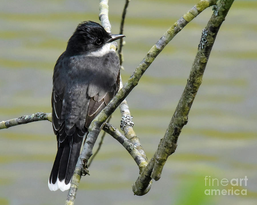 Eastern Kingbird on Branches by Cynthia Staley
