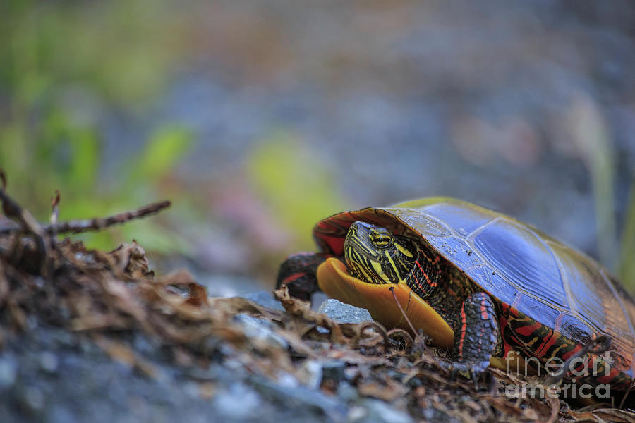 New Hampshire Photograph - Eastern Painted Turtle Chrysemys Picta by Edward Fielding