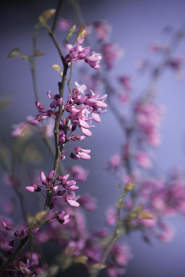 Tree Photograph - Eastern Redbud by Pamela Hagedoorn