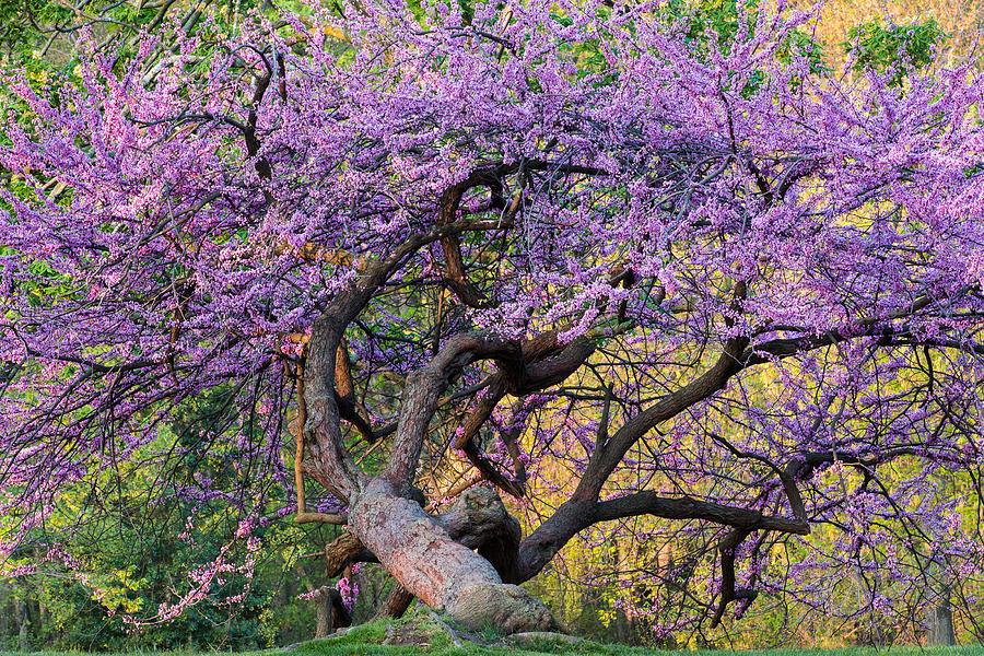 Arlington Photograph - Eastern Redbud Arlington Virginia Spring Bloom by Mark VanDyke