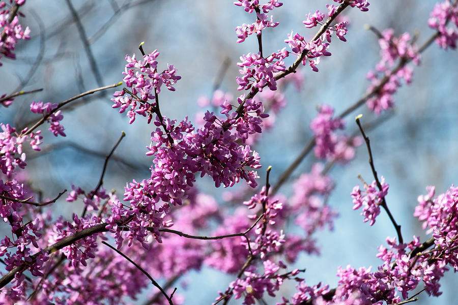 Eastern Redbud Tree In Bloom Photograph By Laura Vilandre