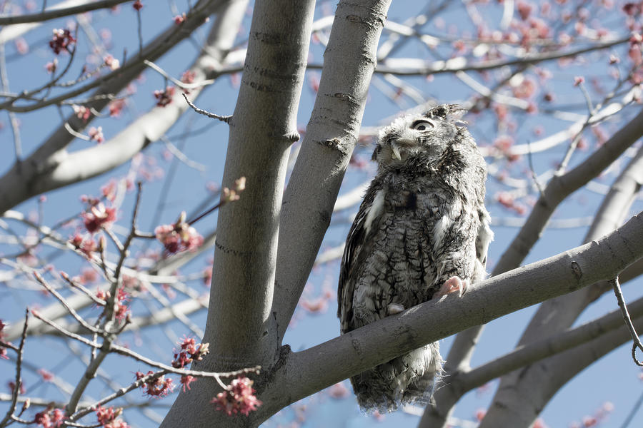 Eastern Screech Owl 3 Photograph