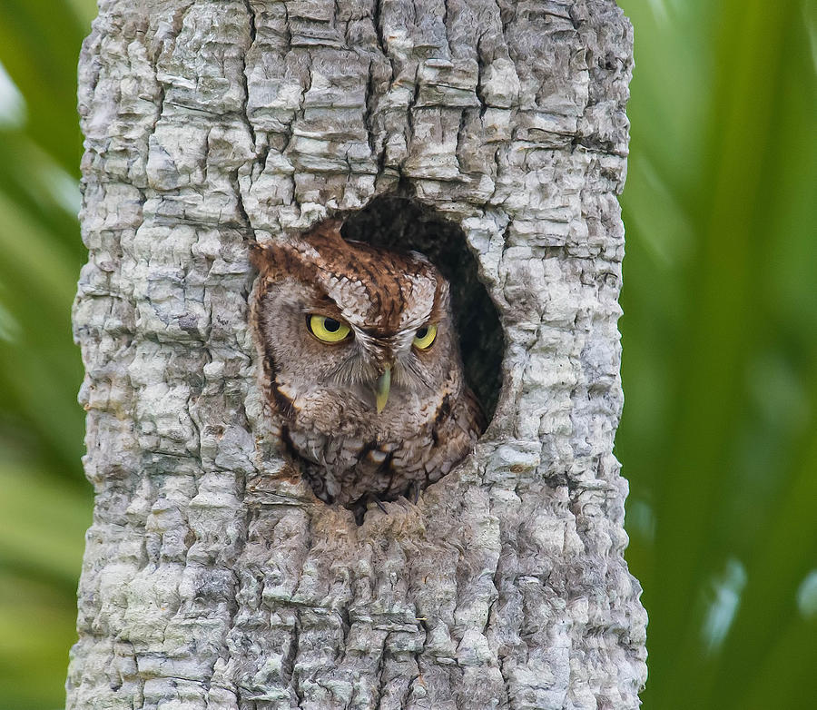 Eastern Screech Owl by Kenneth Blye