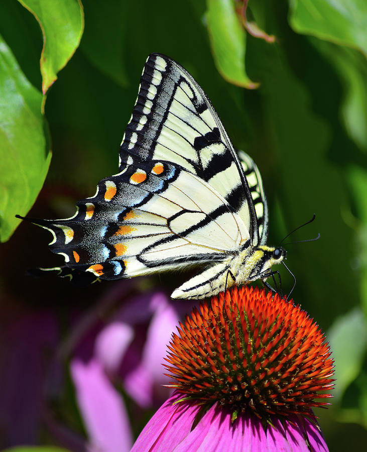 Eastern Tiger Swallowtail by Chris Busch