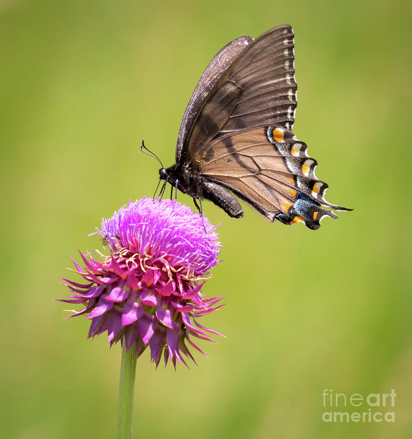 Canon Photograph - Eastern Tiger Swallowtail Dark Form  by Ricky L Jones