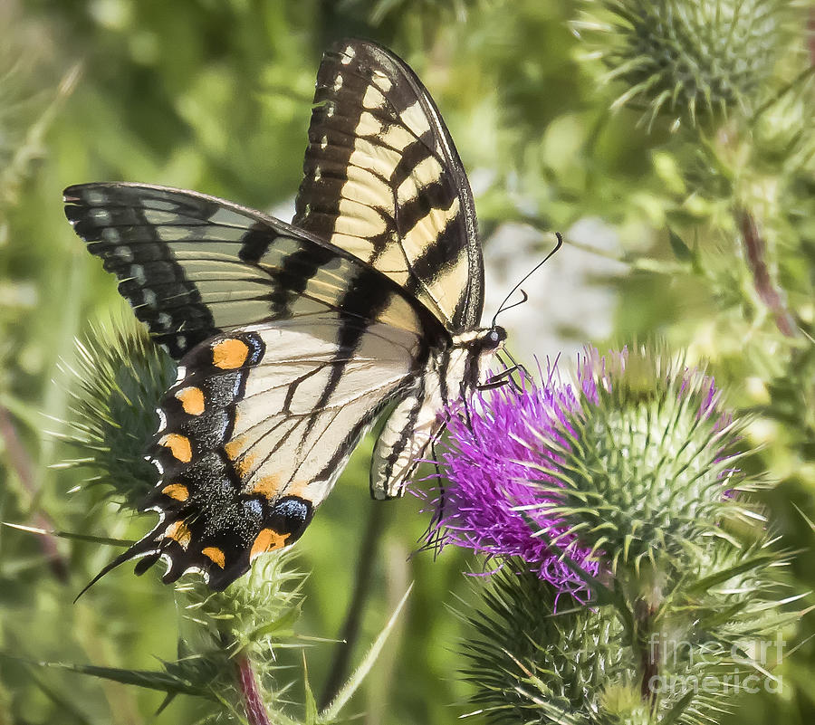 Canon Photograph - Eastern Tiger Swallowtail by Ricky L Jones