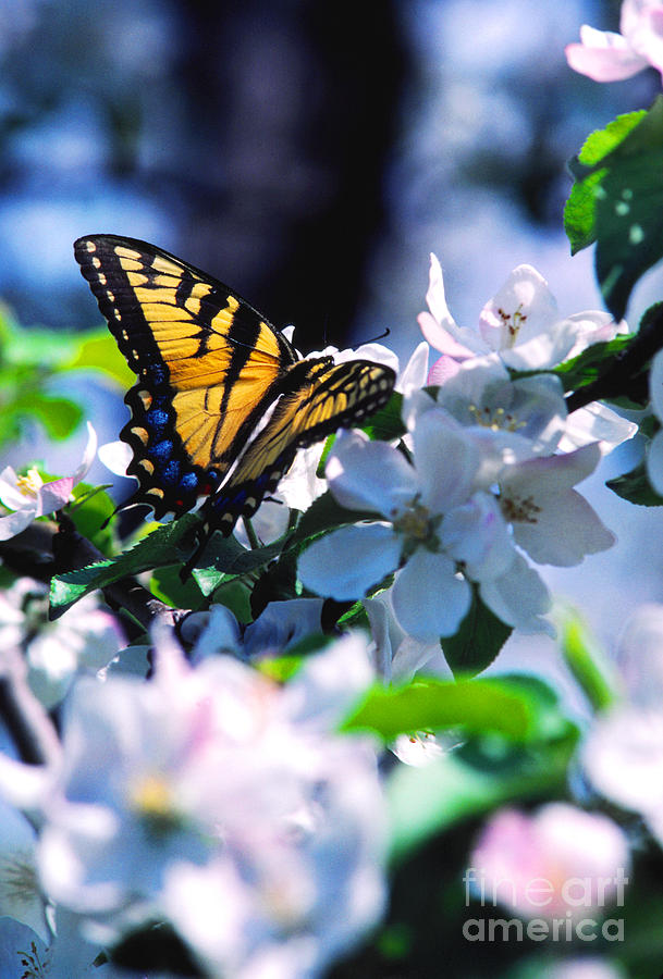 Pollinating Photograph - Eastern Tiger Swallowtail by Thomas R Fletcher