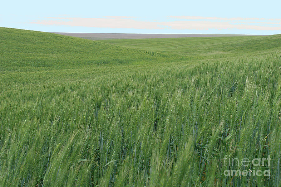 Eastern WA Wheatfields by Rich Collins