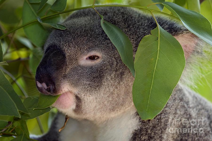 Koala Photograph - Eat Your Greens by Mike  Dawson