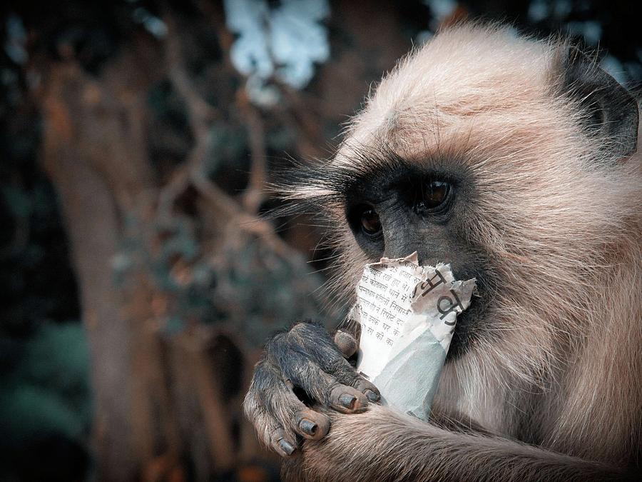 Eating Monkey Photograph by Pritankan Shiladitya
