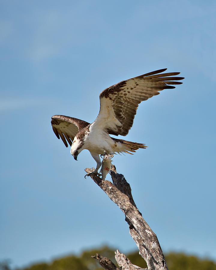 Male Photograph - Eating Osprey-1 by Rudy Umans