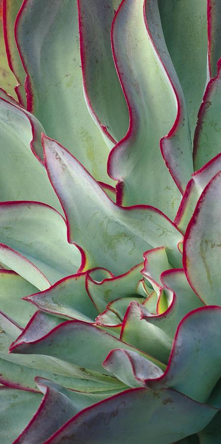 Echeveria subrigida by Saxon Holt