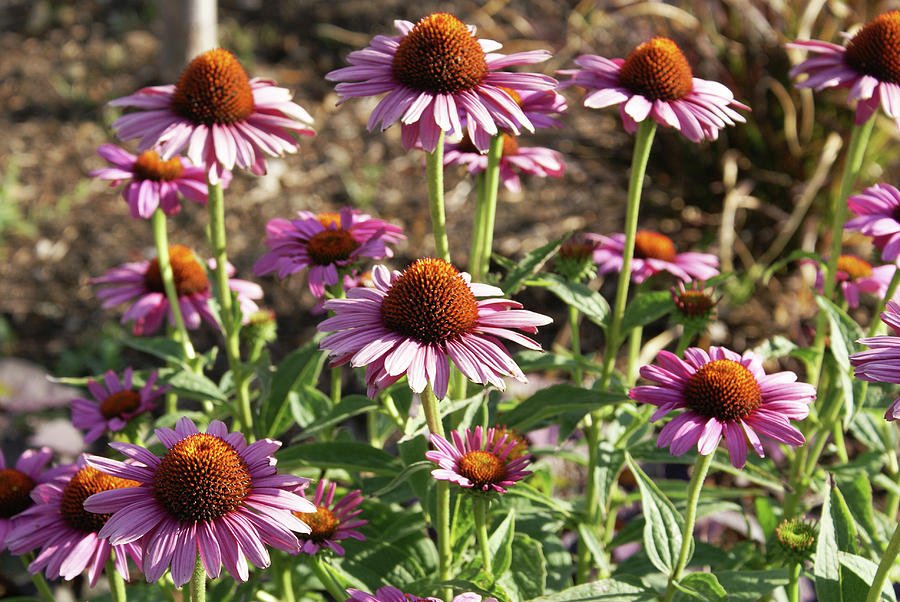 Flowers Photograph - Echinacea by Cynthia Powell