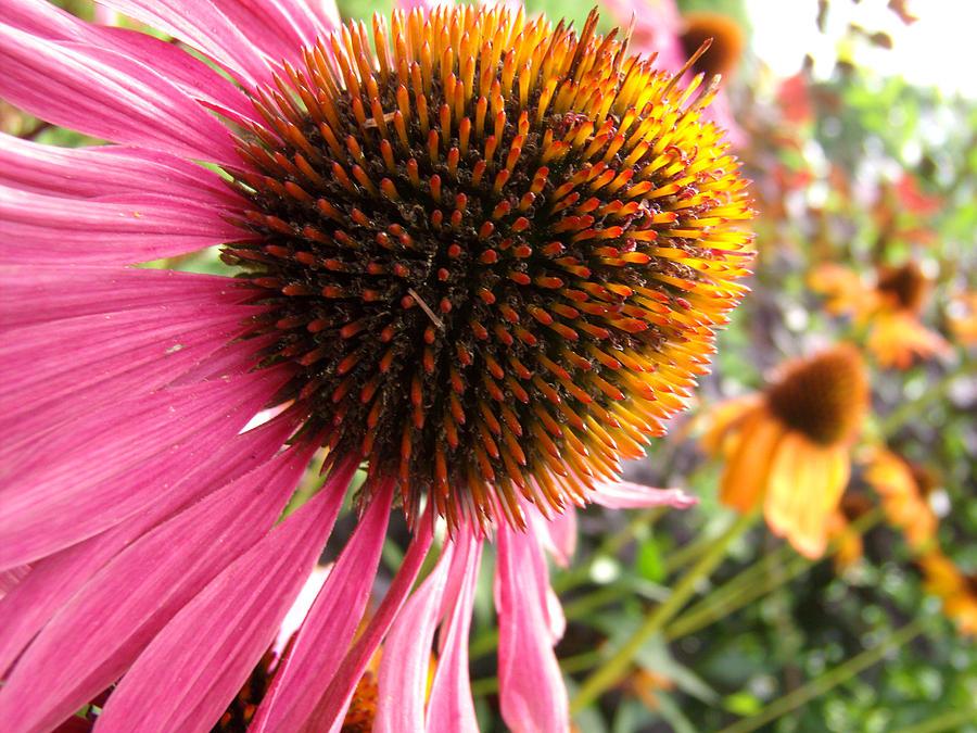 Echinacea Photograph - Echinacea Garden by Nicole I Hamilton