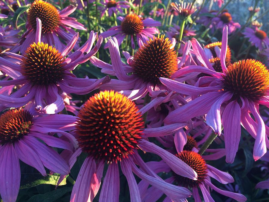 Echinacea In Summer by Travis Crockart