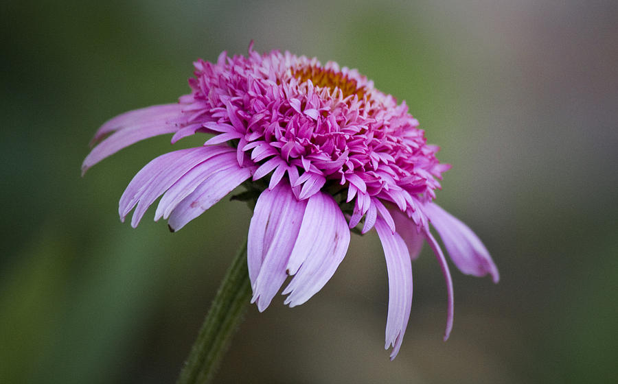 Pink Photograph - Echinacea Pink Double Delight by Teresa Mucha