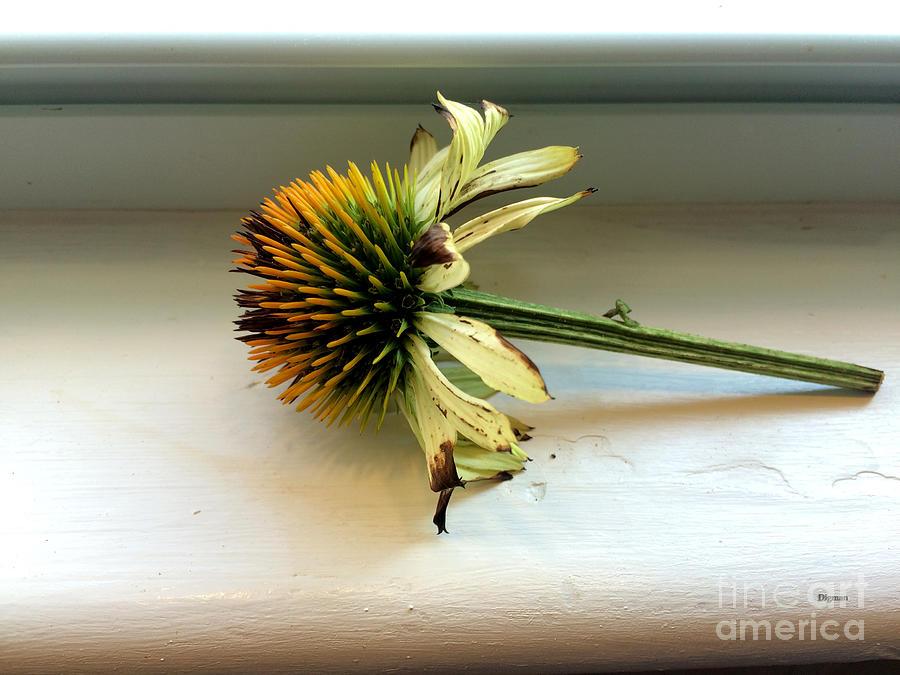 Echinacea Photograph - Echinacea by Steven Digman