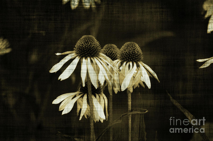 Echinacea Photograph - Echinacea by Terrie Taylor