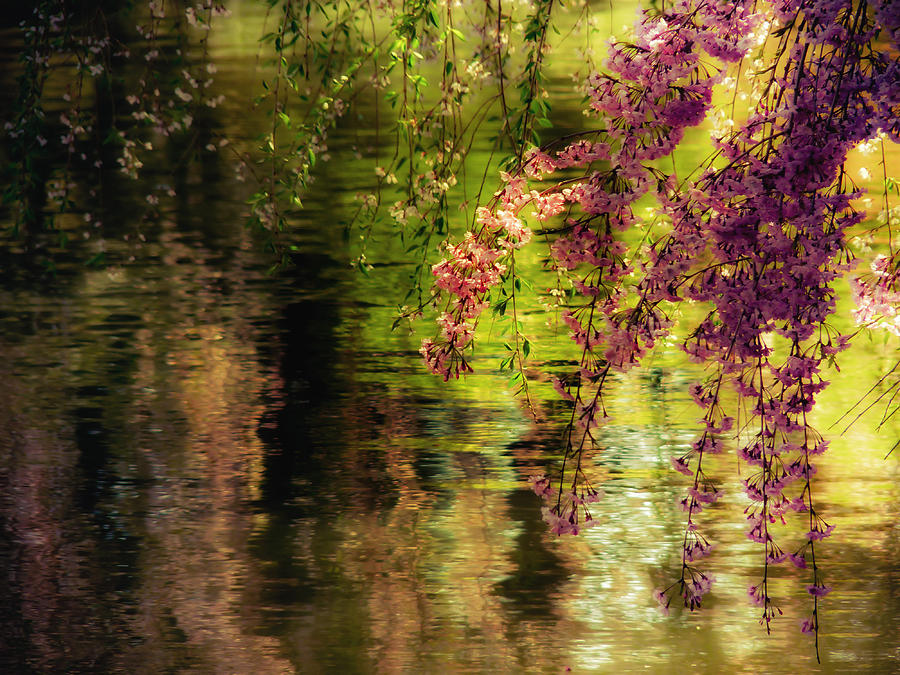 Cherry Blossoms Photograph - Echoes Of Monet - Cherry Blossoms Over A Pond - Brooklyn Botanic Garden by Vivienne Gucwa