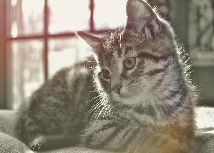 Kitten Photograph - Edward by JAMART Photography