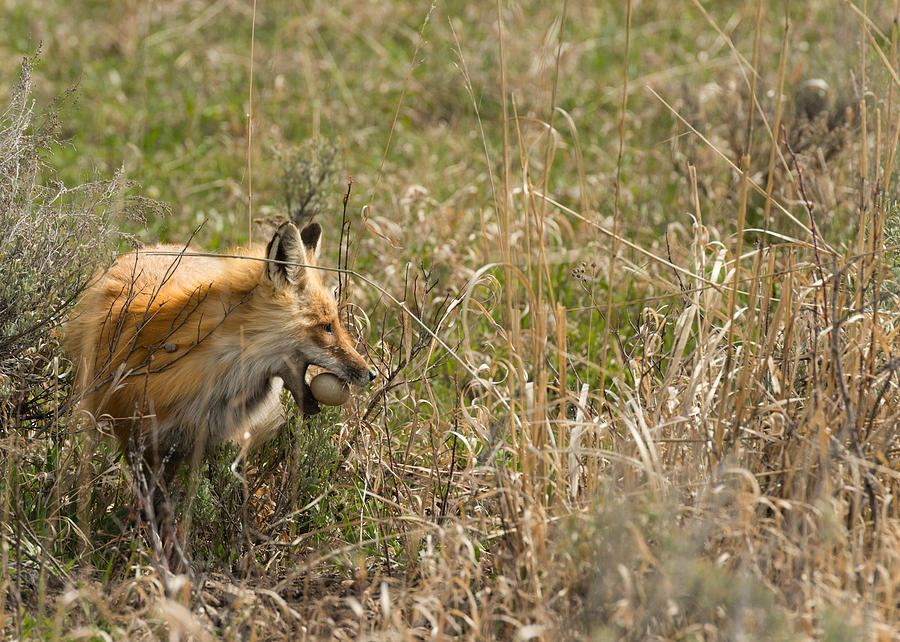Fox Photograph - Egg Thief by Birches Photography
